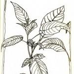 Leaves_pen-&-ink